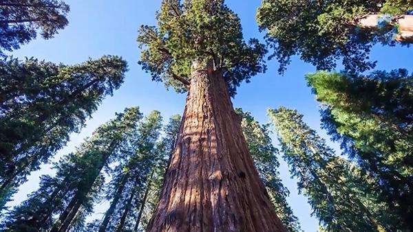الشجرة الاستوائية الأكثر ارتفاعاً في العالم