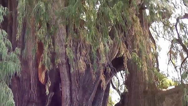 شجرة تولي