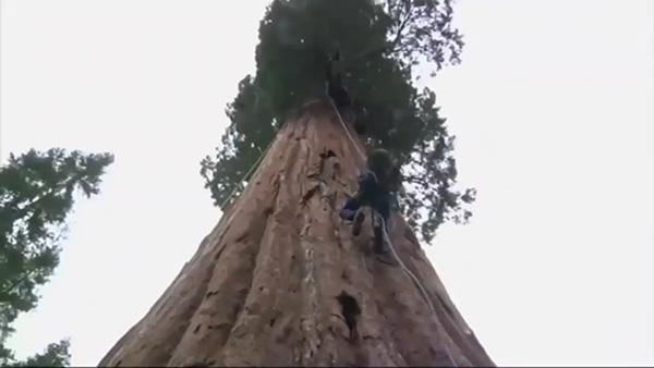 شجرة هيبريون