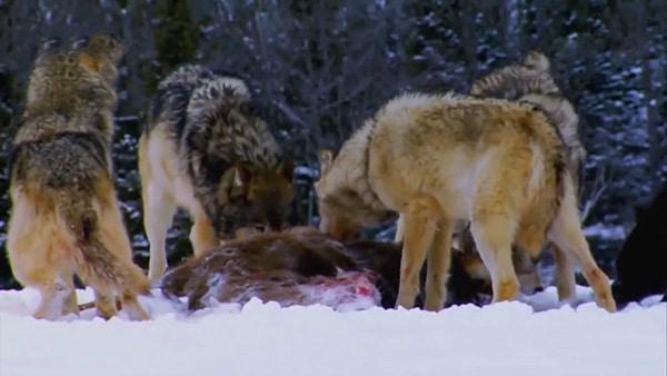 أشرس الكائنات في العالم | لعبة الجوع