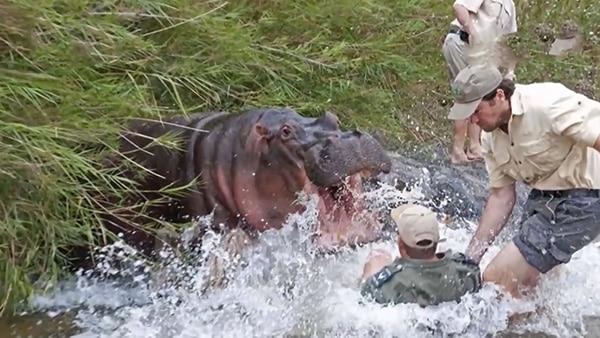 أشرس الكائنات في العالم | ثوران حيوان