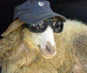 فيديوهات مضحكة عن خروف العيد